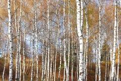 Красивая сцена в желтом лесе березы осени в октябре с упаденными желтыми листьями осени Стоковые Фотографии RF
