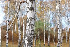 Красивая сцена в желтом лесе березы осени в октябре с упаденными желтыми листьями осени Стоковая Фотография