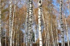 Красивая сцена в желтом лесе березы осени в октябре с упаденными желтыми листьями осени Стоковое фото RF