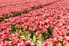 Красивая сцена голландского поля тюльпана стоковое изображение rf