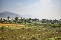 Красивая сцена поля сельского хозяйства падиа с серией плантаций & шуги пальм близко полями Стоковое Изображение RF