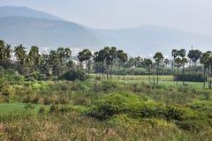Красивая сцена поля сельского хозяйства падиа с серией плантаций & шуги пальм близко полями Стоковые Фотографии RF
