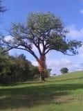 Красивая сцена lobesome дерева стоковое фото rf