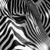 Красивая съемка животного в природе Глаз зебры Стоковые Изображения RF