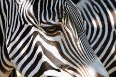 Красивая съемка животного в природе Глаз зебры Стоковая Фотография RF