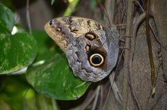 Красивая съемка коричневый отдыхать бабочки morpho Стоковое фото RF