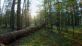 Красивая съемка леса видеоматериал