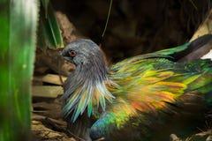 Красивая тайская птица голубя Nicobar Стоковое Изображение RF