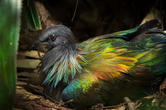 Красивая тайская птица голубя Nicobar Стоковые Фотографии RF
