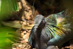 Красивая тайская птица голубя Nicobar Стоковые Изображения RF