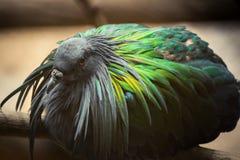 Красивая тайская птица голубя Nicobar Стоковое фото RF