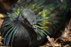 Красивая тайская птица голубя Nicobar Стоковые Изображения