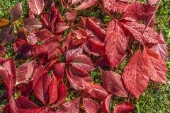 Красивая текстура красных влажных листьев girlish виноградин на лужайке зеленой травы стоковые изображения