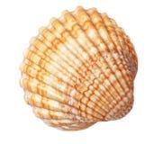 Красивая текстура раковины моря. Стоковые Фотографии RF