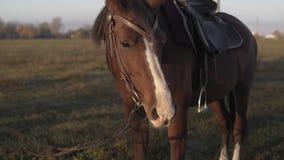 Красивая темная коричневая лошадь жеребца pasturing на поле луга на утре восхода солнца акции видеоматериалы