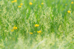 Красивая трава весны и маленькие желтые цветки Стоковая Фотография RF