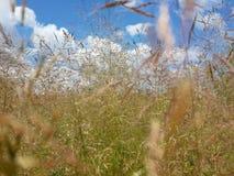 Красивая трава лета и пасмурное голубое небо Стоковая Фотография