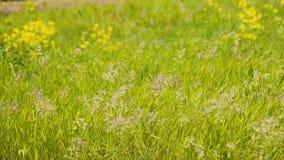 Красивая трава пошатывая в ветре Чудесная красивая рамка Очень красивые заводы Чудесное освещение сток-видео