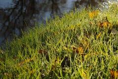 Красивая трава с крупным планом росы на нейтральной предпосылке стоковые фотографии rf