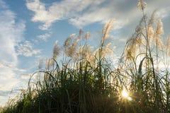 Красивая трава цветка луга природы с солнечными лучами и голубым небом стоковое изображение