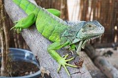 Красивая тропическая зеленая игуана стоковые фотографии rf