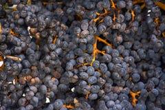 Красивая тропическая предпосылка природы Группы зрелых темных пурпурных плодов ягод китайского fortunei ладони вентилятора ветрян стоковая фотография