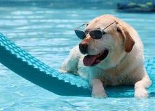 Красивая уникально собака ослабляя на бассейне в плавая кровати, собака labrador золотого retriever с смешным стекел супер Стоковая Фотография RF