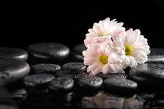 Красивая установка курорта зацветая белой хризантемы цветет Стоковые Изображения RF