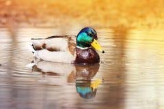Красивая утка плавая на воду искупала в золотом свете солнца стоковые изображения rf