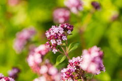 Красивая душица цветет в саде готовом для чая Хорошая специя для мяса Живой сад лета Стоковые Изображения RF