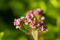 Красивая душица цветет в саде готовом для чая Хорошая специя для мяса Живой сад лета Стоковая Фотография