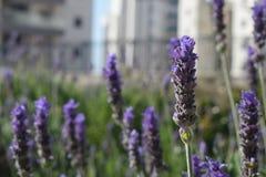 Красивая фиолетовая лаванда Стоковая Фотография RF