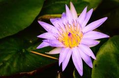 Красивая фиолетовая лилия воды Стоковое Изображение RF