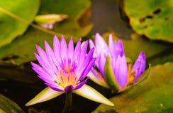 Красивая фиолетовая лилия воды Стоковая Фотография RF