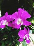 Красивая фиолетовая орхидея в саде стоковая фотография rf