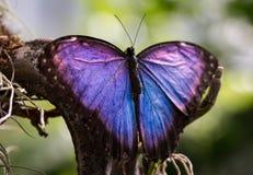 Красивая фиолетовая и голубая бабочка Стоковая Фотография