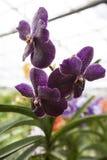 Красивая фиолетовая орхидея цветка 3 на конце-вверх ветви Стоковое фото RF