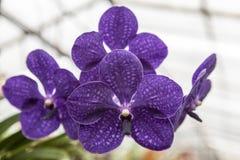 Красивая фиолетовая орхидея цветка 3 на конце-вверх ветви Стоковая Фотография RF