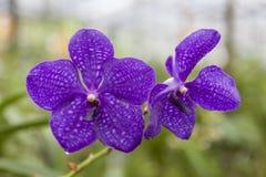 Красивая фиолетовая орхидея цветка на конце-вверх ветви Стоковые Изображения RF