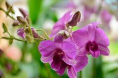 Красивая фиолетовая розовая орхидея Стоковые Изображения RF