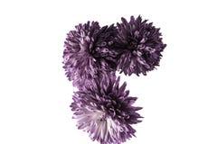 Красивая фиолетовая хризантема изолированная на белой предпосылке Стоковое Изображение