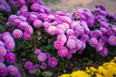 Красивая фиолетовая хризантема как изображение предпосылки обои, хризантемы в осени фантазия ранга Стоковые Изображения RF