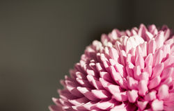 Красивая фиолетовая хризантема Стоковое Изображение RF