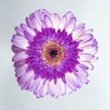 Красивая фиолетовая хризантема стоковое фото rf
