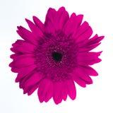 Красивая фиолетовая хризантема стоковая фотография rf