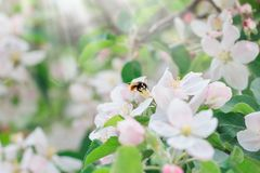 Красивая флористическая предпосылка конспекта весны природы Ветви цвести макроса яблока с мягким фокусом на предпосылке цветеня д стоковое фото rf