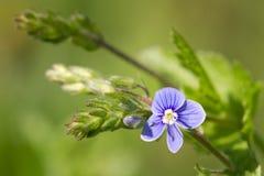 Красивая флористическая предпосылка сини весны цветет стоковая фотография rf