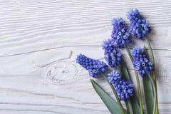 Красивая флористическая рамка с синью цветет muscari стоковая фотография rf