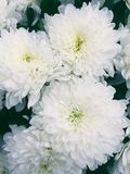 Красивая хризантема белых цветков Стоковые Изображения