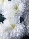 Красивая хризантема белых цветков Стоковое Фото